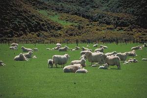 Boa alimentação ajuda na gestação de ovinos e caprinos