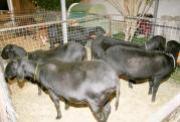 Demanda por carne de Cordeiro vai subir