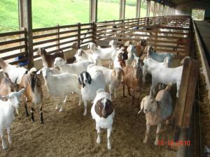 Venda de Matrizes de Cabras Cruza de  Boer